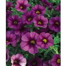 Calibrachoa - Superbells® Plum