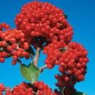 Cardinal Candy Viburnum