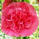 Hollyhock - Carmine Rose