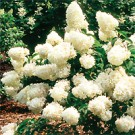 Hydrangea - Little Lamb