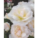Rose - Easy Elegance® Champagne Wishes - Shrub Rose