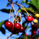 Cherry Tree - Bing