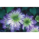 Clematis - Crystal Fountain™