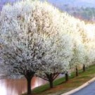 Cleveland Flowering Pear