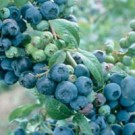 Climax Blueberry Bushes