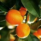 Kumquat - Nagami