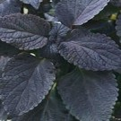 Coleus - Dark Star