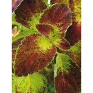 Coleus - Dipt in Wine