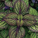 Coleus - Fishnet Stocking