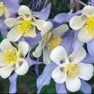 Columbine - Origami Blue & White