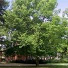 Hackberry Trees