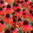 Coneflower -  Firebird