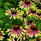 Coneflower - Green Envy
