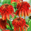 Coneflower - Hot Papaya