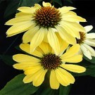 Coneflower - Sunrise