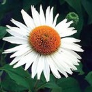 Coneflower - Fragrant Angel