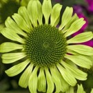 Coneflower - Green Jewel