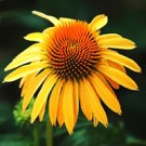 Coneflower - Harvest Moon