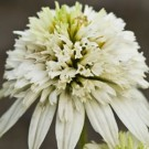 Coneflower - Meringue