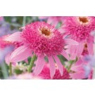 Coneflower - Pink Double Delight