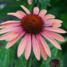 Coneflower - Summer Sky