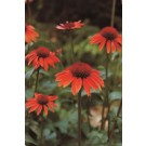 Coneflower - Sundown