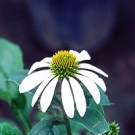 Coneflower - White Swan