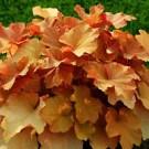 Coral Bells - Caramel