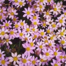Coreopsis - American Dream
