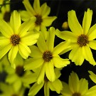Coreopsis - Moonbeam