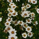 Coreopsis - Star Cluster