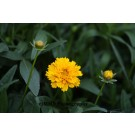 Coreopsis - Early Sunrise