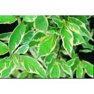 Dogwood - European Variegated