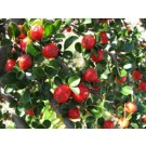 Cotoneaster - Cranberry