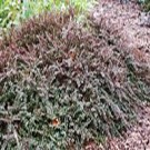 Cotoneaster - Tom Thumb Creeping