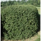 Cotoneaster - Hedge