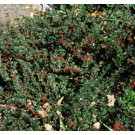 Cotoneaster - Spreading