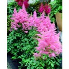 Astilbe - Country and Western