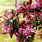 Crabapple - Profusion