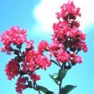Tonto Crape Myrtle Tree