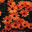 Daisy - Orange Symphony