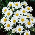 Daisy - Snowcap