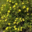 Dakota Sunspot Potentilla