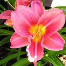 Daylily - Rosy Returns
