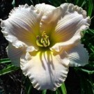 Daylily - Fairy Tale Pink