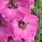 Delphinium - Pink Punch