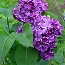 Lilac - Yankee Doodle