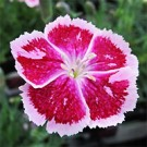 Dianthus - Fire and Ice