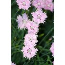 Dianthus - Baths Pink