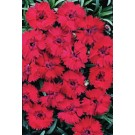 Dianthus - Fire Star